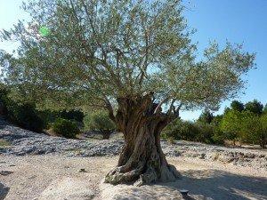 La symbolique de l'Olivier dans Apports symbolique-olivier-millenaire-300x225