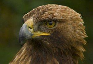 aigle-royale